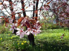 Työttömän valokuvaajan opas: Kirsikan- ja omenankukkia