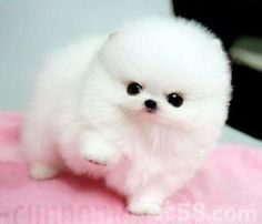 puppies that stay small and dont shed & puppies that stay small ; puppies that stay small forever ; puppies that stay small and dont shed Cute White Puppies, Cute Teacup Puppies, Cute Baby Dogs, Baby Animals Super Cute, Cute Little Puppies, Cute Cats And Dogs, Cute Little Animals, Cute Dogs And Puppies, Cute Funny Animals
