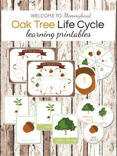 Montessori inspired oak tree life cycle printables (acorn printables)