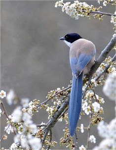 """Beautiful """"blue"""" tail among the fleurs! Kinds Of Birds, All Birds, Love Birds, Pretty Birds, Beautiful Birds, Animals Beautiful, Exotic Birds, Colorful Birds, Tier Fotos"""