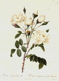 Rosa Campanulata