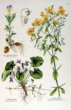 img/gravures anciennes de fleurs/gravure couleur ancienne de fleur - Hypericum perforatum; Viola odorata; Viola tricolor.jpg