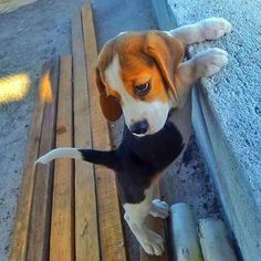 lovely - Miah the Beagle