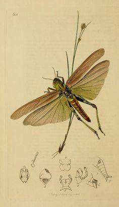 v.3 (1823-1840) - British entomology : - Biodiversity Heritage Library