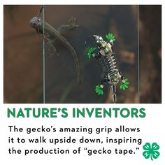 """The gecko has an amazing grip, with the ability to walk upside down! It is a perfect explanation as to why these creatures have inspired the production of """"gecko tape."""""""