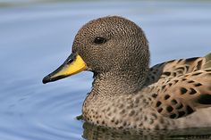 Sharp Winged Teal