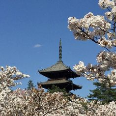 Ninna Ji Temple /仁和寺 is a world heritage site. The cherry blossoms here are known as 'Omuro Sakura'. They are the latest blooming blossoms in Kyoto. So known for their beauty they are often mentioned in Haiku poems by notable poets.  #MeetTheWorld #cherryblossom #kyoto #japan Hotels-live.com via https://www.instagram.com/p/BElmq60jyid/ #Flickr