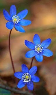 Great Pics Blue Flowers photography Tips Are you trying to keep a yard as part of your lawn? A person certainly goal rebuild spry and even more intere Flowers Nature, Exotic Flowers, Amazing Flowers, My Flower, Pretty Flowers, Flower Power, Wild Flowers, Bouquet Flowers, Natural Flowers Photos