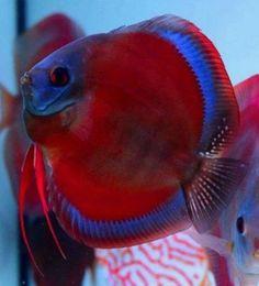 Beautiful discus Discus Aquarium, Saltwater Aquarium Fish, Tropical Fish Aquarium, Discus Fish, Betta Fish, Discus Tank, Tropical Freshwater Fish, Freshwater Aquarium Fish, Rare Fish