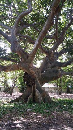 An old tree in San Juan, Puerto Rico.