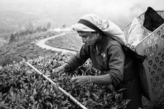 worker at a Tea plantation in Sri Lanka