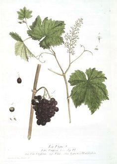 Botanical - Illustration - Grape vine and grapes