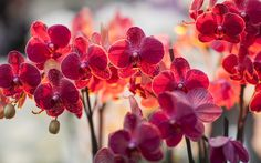 Red Orchids - Beautiful Flowers Wallpapers and Images Flower Desktop Wallpaper, Orchid Wallpaper, Spring Wallpaper, Hd Wallpaper, Desktop Backgrounds, Desktop Wallpapers, Photo Wallpaper, Phalaenopsis Orchid, Orchid Plants