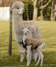 Quito, a four-day-old baby alpaca, also known as a cria, pictured with his mother Miriam in the spring sunshine at Great House Alpacas Stud, Oxfordshire Baby Alpaca, Cute Alpaca, Alpacas, Cute Funny Animals, Cute Baby Animals, Animals And Pets, Images Lama, Beautiful Creatures, Animals Beautiful