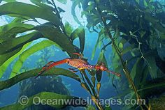 Weedy Seadragon in Giant Kelp forest Photo Image. License high quality Stock Photo or order Print of Weedy Seadragon in Giant Kelp forest. Mermaid Quilt, Kelp Forest, Fast Growing Plants, Sea World, Endangered Species, Seaweed, Underwater, Ocean, Seahorses