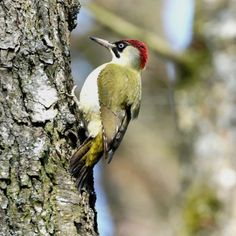 ---Pic vert---  Le pic vert vit dans les bois mais également dans les bosquets, les vergers et les grands jardins. Il habite toujours à proximité des prairies.   Comme son nom l'indique le pic vert arbore un plumage à dominante vert. Plus pâle sur le ventre, il possède également une calotte rouge. Sa face est noire et il porte une moustache rouge entourée de noir, ce qui lui donne fière allure.