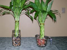 bamboo is easily grown indoors just follow these for happy - Growing Bamboo