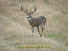 south texas whitetail | Tom Pitchford - South Texas Whitetail - Great 12 pt - Hunting Pictures ...