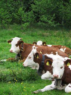 livestocks