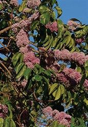 Pink Euodia Melicope elleryana (Syn. Euodia elleryana) An attractive small to medium sized tree that commonly grows in moist rainforests close to streams. Its pink flowers, borne in dense clusters, are very pretty and will attract birds and insects to your garden. They are particularly attractive to butterflies. Reasonably fastgrowing, it needs a well-drained soil and responds favourably to fertiliser and watering during dry periods.