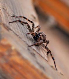 Spider Bites – Difference Between Common Bug Bites and Spider Bites URL:http://wolfspider.org/
