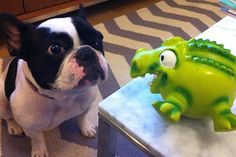 The 8 Cutest Staring Contests EVER #refinery29  http://www.refinery29.com/the-dodo/98#slide8  Don't even think of averting your eyes from that underhanded toy.