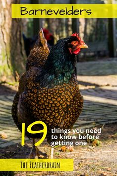 Find out if Barnevelder chickens are the right breed for you. See what these chickens look like in Double Laced Partridge, Silver, and other varieties (with pictures and videos of hens, roosters, and chicks), and learn how many eggs they lay. Discover if this beautiful and friendly heritage breed is right for you! Types Of Chickens, Chickens And Roosters, Raising Chickens, Chicken Egg Colors, Chicken Eggs, Backyard Coop, Chickens Backyard, Barnevelder Chicken, Heritage Chicken Breeds