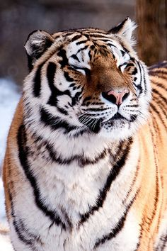 "wonderous-world: "" Fresh Air! by the Snow Tiger "" Pretty Cats, Beautiful Cats, Animals Beautiful, Big Cats, Cool Cats, Cats And Kittens, Animals And Pets, Cute Animals, Wild Animals"