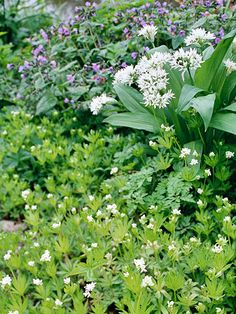 Sweet Woodruff -charming ground cover for shade, this quick grower offers fine-textured foliage and clusters of fragrant white flowers in early summer. The plant is also used in making May wine.