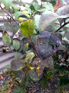 Getting Rid Of Black Sooty Mould - Growing And Gathering