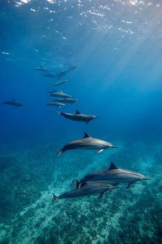 Spinner Dolphins - Kona, Hawaii