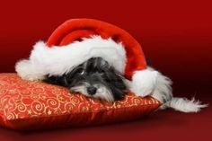 Puppy Wearing A Santa. More photos of cute and funny puppies, visit http://pewpaw.com/puppy-wearing-a-santa/