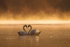 Swans on a gold lake.