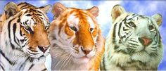 Tigers preservation in Myrtle Beach - Hoping to head there after 3/2012 - when it opens for the season