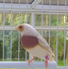 Rare Silver Lady Gouldian Finch Tampa, Florida 33601