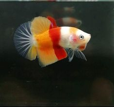 Candy corn Pretty Fish, Beautiful Fish, Freshwater Aquarium Fish, Aquarium Fish Tank, Colorful Fish, Tropical Fish, Betta Fish Types, Cute Reptiles, Discus Fish