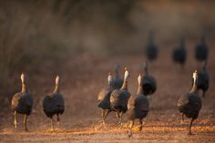 Flock of helmeted guineafowl running away on a dirt road. #travel #safari #Africa #wildlife #wild #nature #animals #birds #helmeted #guineafowl #Numididae #Galliformes Spotted Animals, Guinea Fowl, Alien Art, Photoshop Brushes, Galaxy Wallpaper, In The Tree, African Safari, Bird Species, Africa Travel