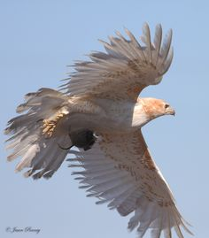 Leucistic RED-TAILED HAWK - Leucism, or leukism, is an abnormal plumage condition caused by a genetic mutation that prevents pigment, particularly melanin, from being properly deposited on a bird's feathers.