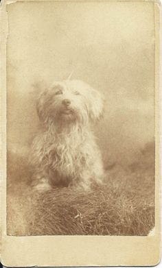 1888 cdv of little white shaggy dog. Photo by Vanderbilt, Barlow Block, Sing Sing, N.Y. Written on back in pencil is the dog's name, Elfie, and 1888. From bendale collection