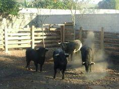 PeninsulaTaurina.com : Reseña de los toros de El Vergel para Peto