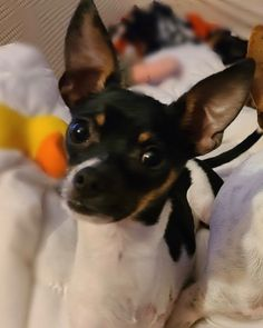 North Olmsted, Ohio: Louie, a 5-pound, bouncy, happy, Toy Fox tripawd, is officially looking for his new home! He's got three legs and a lotta heart! 💙 Apply to #AdoptPureLove at www.anewleashonliferescue.com Embrace Pet Insurance, North Olmsted, Post Animal, Veterinary Care, Awesome Dogs, Upcoming Events, Best Dogs, Boston Terrier, Your Pet