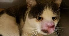 Cat With Terrible Infection Begged For Help But No One Listened Until …