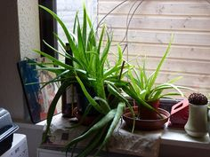 Aloe vera does well outdoors and indoors. Photo by Tony Hirtenstein.