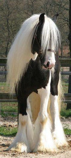 Beautiful Gypsy Vanner!