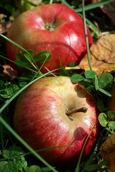 Fallen autumn red apples in an apple orchard Apple Fruit, Red Apple, Fresh Apples, Fresh Fruit, Pictures Images, Food Pictures, Apples Photography, Apple Picture, Autumn Scenery
