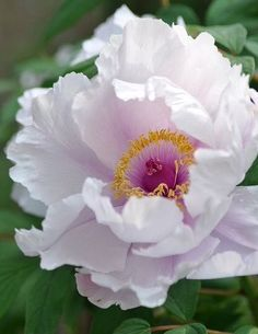 Natural elements: Pale Pink Peony.