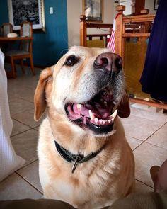 This pup  #pupsofinstagram #seniordogs #budlight #bud #puppers #pup #dogs Bud Light, Labrador Retriever, Pup, Inspirational, Dogs, Instagram, Labrador Retrievers, Dog Baby, Pet Dogs