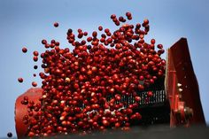 Berries bounce off a conveyer into a truck for transport to Ocean Spray in Middleboro for processing. Greg Derr/The Patriot Ledger