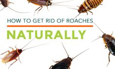 Silverfish How To Get Rid And Cricket On Pinterest