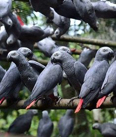 African Parrot Grey health diet personality intelligence training and care Pretty Birds, Beautiful Birds, Happy Animals, Animals And Pets, Talking Parrots, Parrot Toys, Parrot Bird, African Grey Parrot, Crazy Bird